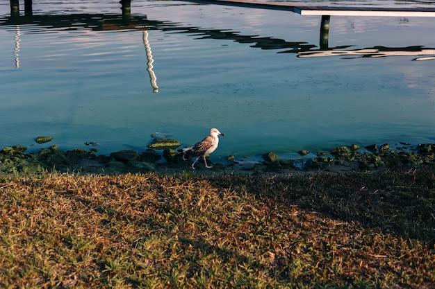 Gaivota-rio fofa com pés palmados na luz do sol