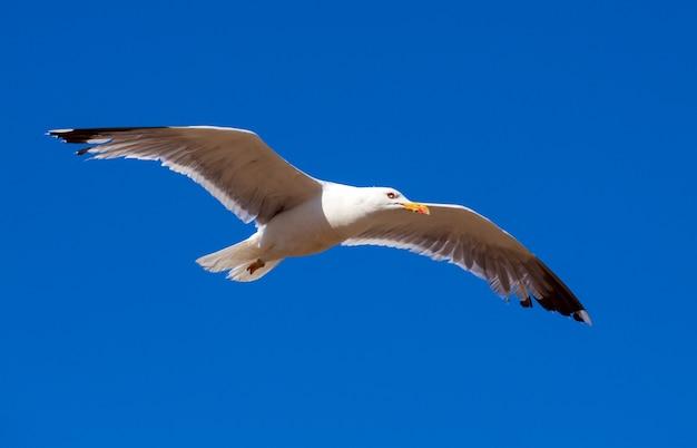 Gaivota voadora