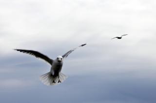 Gaivota voando, asas