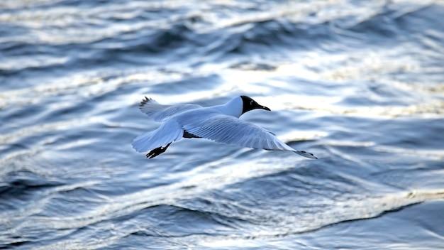 Gaivota voando baixo sobre a água. aves marinhas no habitat