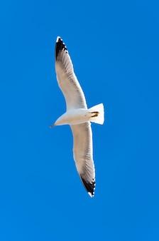 Gaivota voando no céu azul, close-up de gaivota voando sobre o céu azul