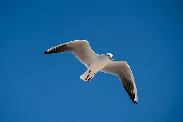 Gaivota voando no fundo do céu azul