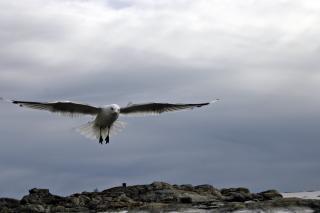 Gaivota voando, pássaro