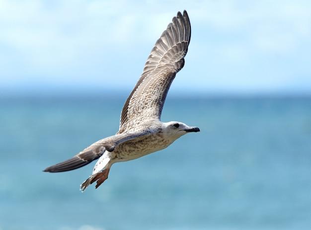 Gaivota voando sob manhoso azul