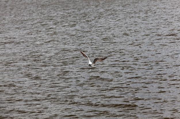 Gaivota voando sobre o lago no verão