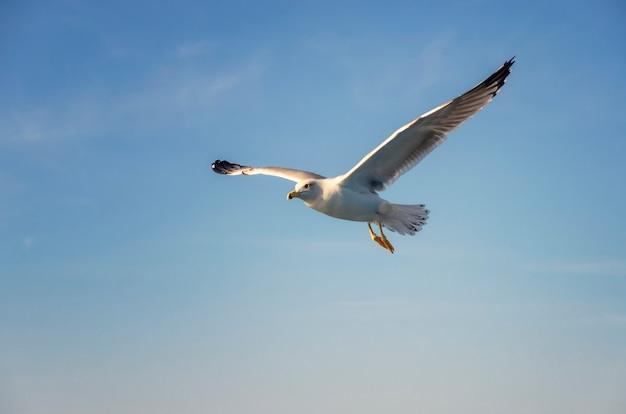 Gaivota voando