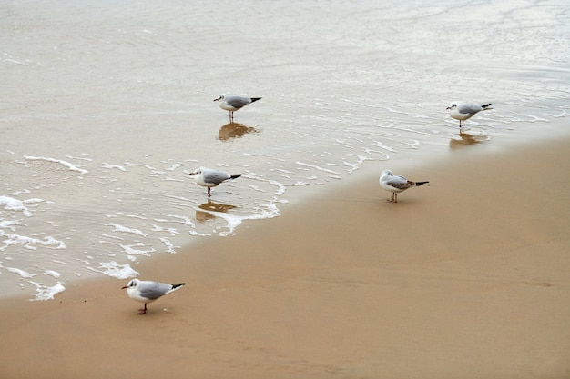 Gaivotas caminhando na praia. gaivotas de cabeça negra, caminhando na praia arenosa perto do mar báltico. chroicocephalus ridibundus.