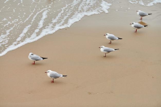Gaivotas caminhando na praia. gaivotas-de-cabeça-preta caminhando em uma praia arenosa perto do mar báltico