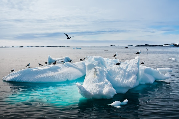 Gaivotas na antártica