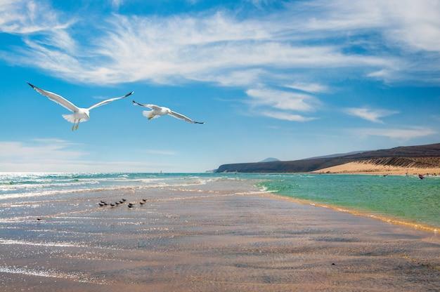 Gaivotas na costa da costa calma em fuerteventura,