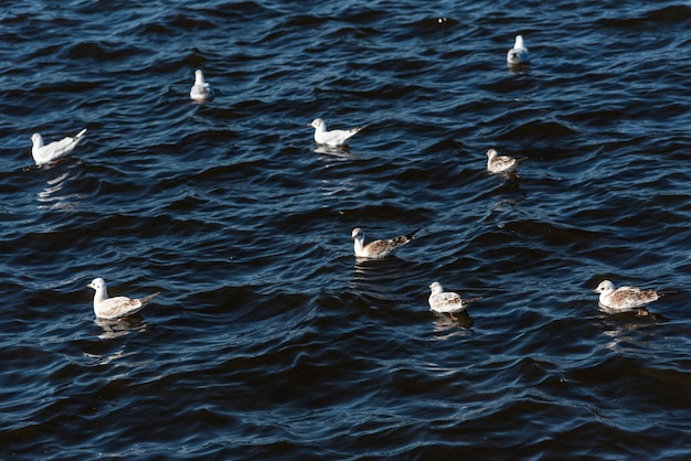 Gaivotas nadando no lindo mar azul com ondas