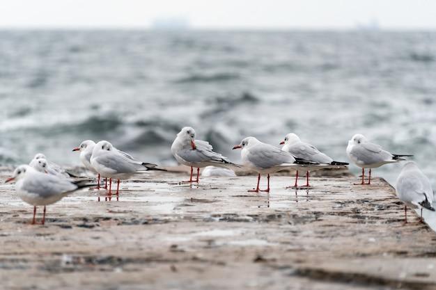 Gaivotas no antigo cais na costa do mar negro em clima frio e tempestuoso.