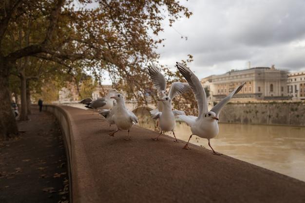 Gaivotas sentadas na margem do rio tibre em roma, itália