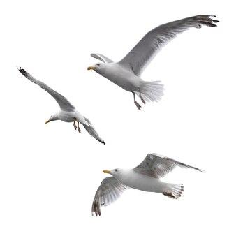 Gaivotas voadoras isoladas no fundo branco