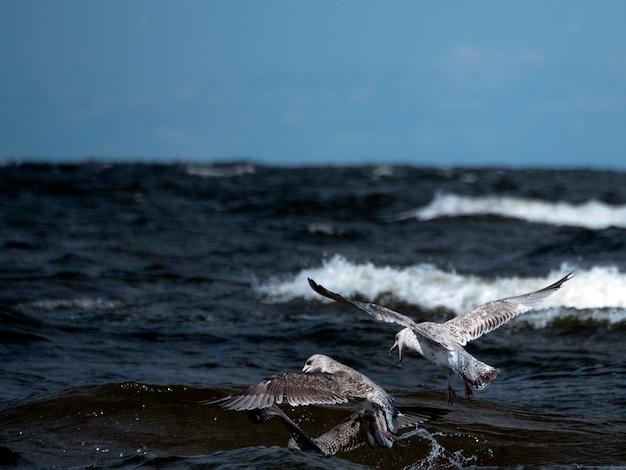 Gaivotas voam sobre as ondas do mar, caçando peixes em um dia ensolarado
