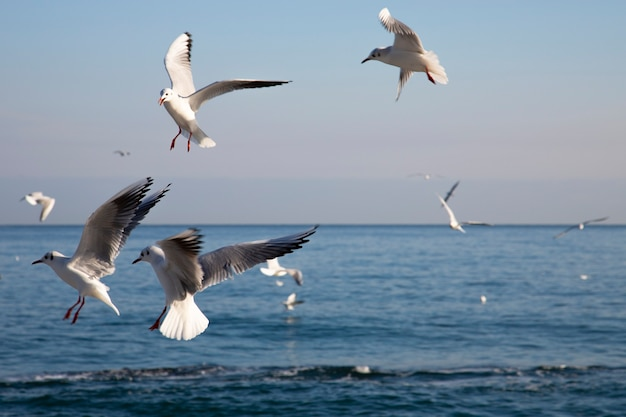 Gaivotas voam sobre o mar ao amanhecer, pássaros brancos no fundo do mar e do céu