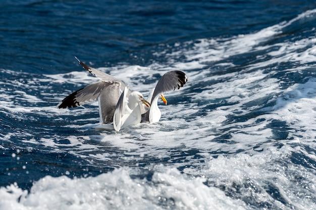 Gaivotas voam sobre o mar e caçam peixes