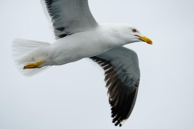 Gaivotas voando no mar branco, na rússia.