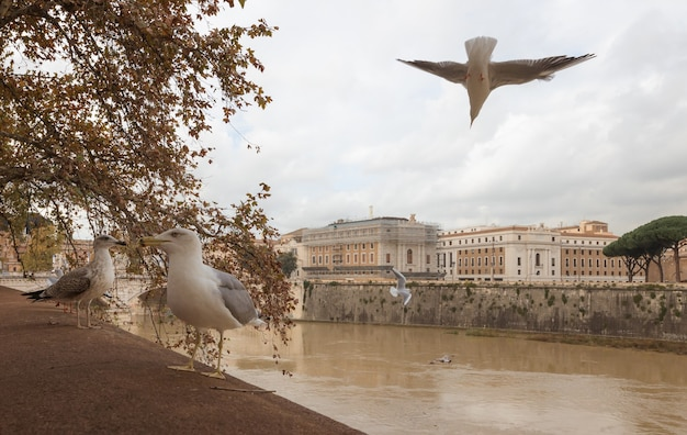 Gaivotas voando sobre o tibre, roma, itália