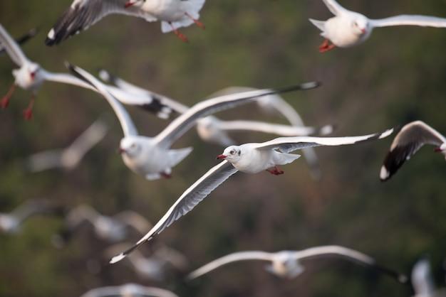 Gaivotas voando