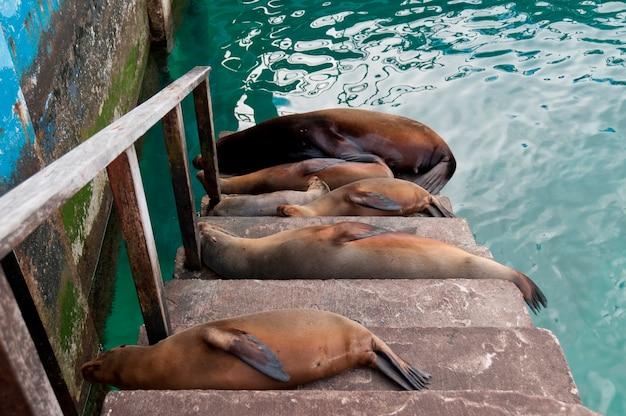 Galapagos, leões marinhos, (zalophus, californianus, wollebacki), mentindo, ligado, passos, puerto, baquerizo, moreno, san cristobal, ilha, ilhas galapagos, equador