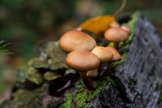 Galerina marginata é um cogumelo venenoso mortal, outubro