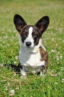 Galês cardigan corgi cachorro na grama