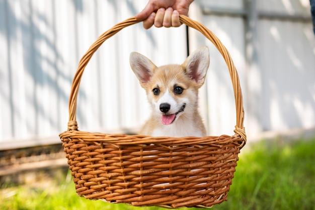 Galês corgi pembroke cachorrinho em uma cesta