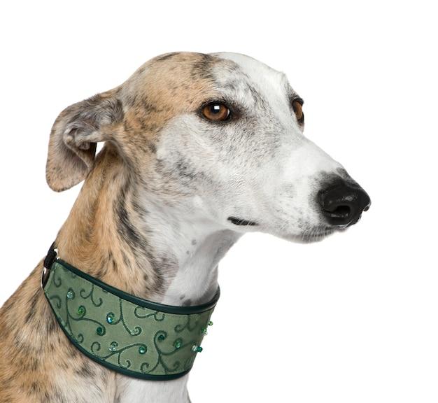 Galgo espanol com 4 anos. retrato de cachorro isolado