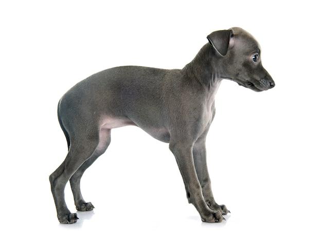 Galgo italiano filhote de cachorro