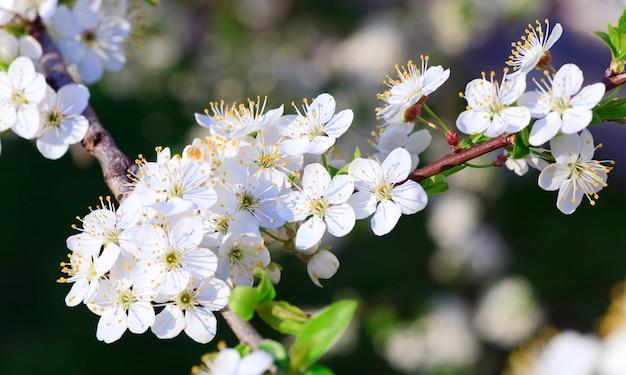 Galho branco em flor da árvore