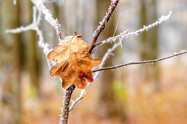 Galho coberto de geada com folhas de carvalho na floresta