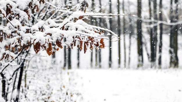 Galho coberto de neve com folhas secas em um fundo de árvores na floresta