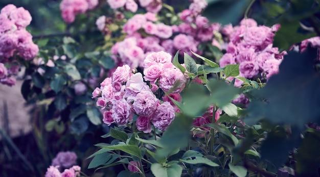 Galho com botões de rosa florescendo e folhas verdes, close-up