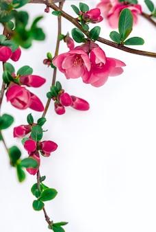 Galho com flor rosa cereja em fundo branco, copie o espaço.