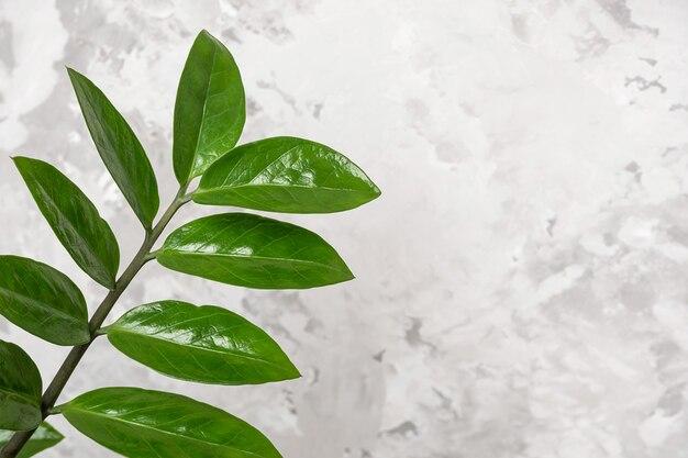 Galho com folhas de zamiokulkas em uma parede de pedra cinza
