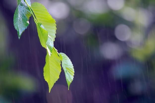 Galho com folhas verdes na chuva
