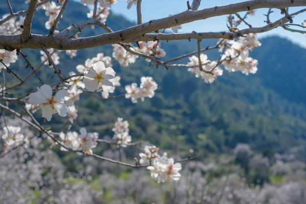 Galho de amendoeira com flores sobre a paisagem de primavera