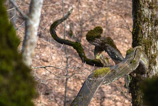Galho de árvore coberto de musgo