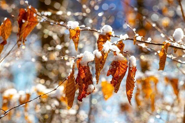 Galho de árvore coberto de neve com folhas secas em clima de sol