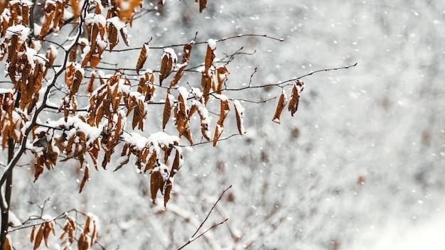Galho de árvore coberto de neve com folhas secas na floresta de inverno
