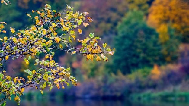 Galho de árvore com brilhantes folhas de outono perto do rio