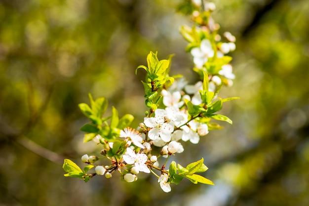 Galho de árvore com flores de cerejeira sobre a natureza verde