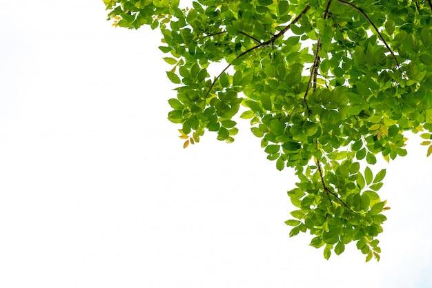 Galho de árvore com folha verde isolada