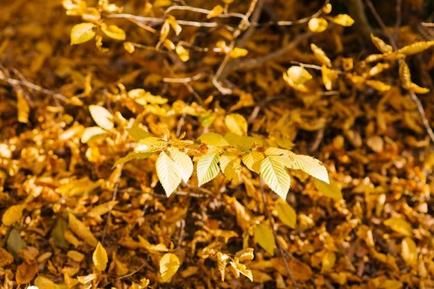 Galho de árvore com folhas amarelas