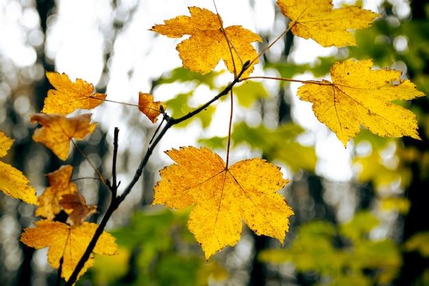 Galho de árvore com folhas de bordo amarelas na floresta close-up