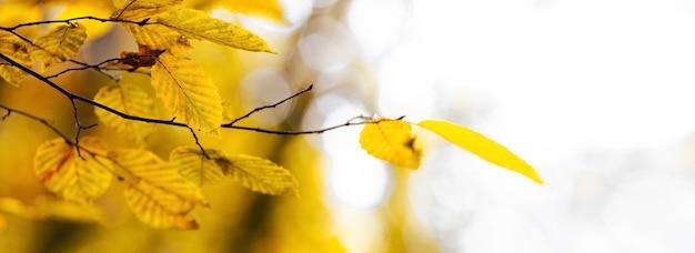 Galho de árvore com folhas de bordo amarelas sobre um fundo claro