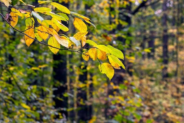 Galho de árvore com folhas de outono coloridas na floresta. outono na floresta