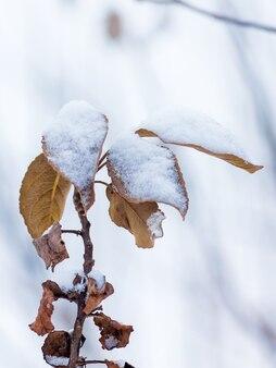 Galho de árvore com folhas secas de laranja, coberto de neve. dia de inverno no jardim_