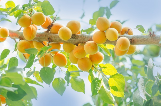 Galho de árvore de alperce com frutas maduras
